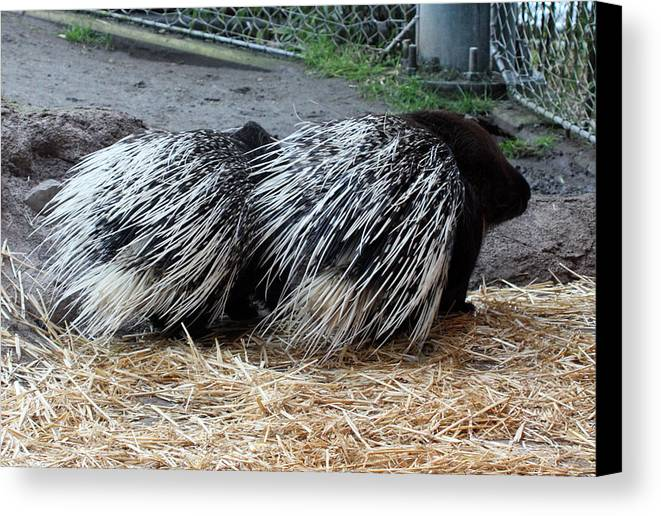 Point Defiance Canvas Print featuring the photograph Crested Porcupine - 0002 by S and S Photo