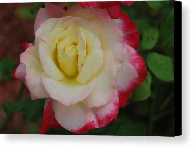 Rose Canvas Print featuring the photograph Delicate Rose by Michelle Cruz