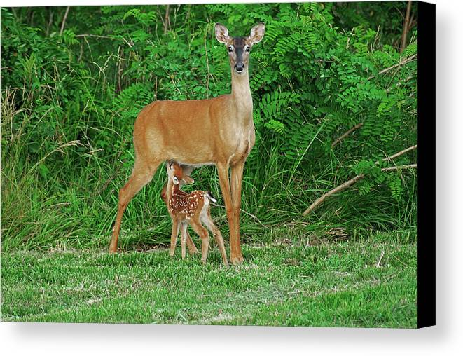 Doe Canvas Print featuring the photograph Doe And Nursing Fawn by Fred Kirchhoff