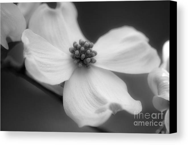 Flower Canvas Print featuring the photograph Dogwood by Karen Lewis