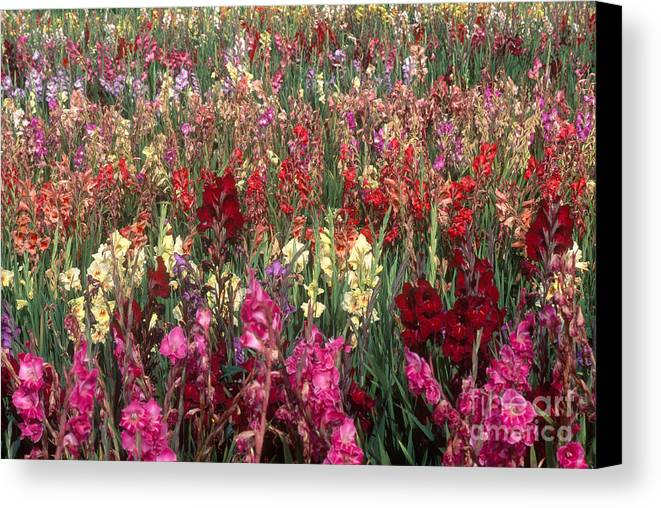 Nature Canvas Print featuring the photograph Gladioli Garden In Early Fall by Yva Momatiuk and John Eastcott and Photo Researchers