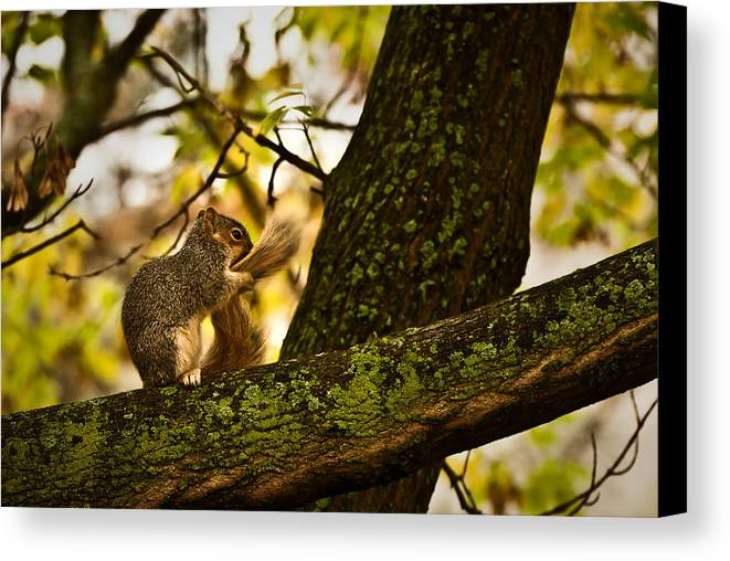 Grey Squirrel Canvas Print featuring the photograph Grooming Grey Squirrel by Onyonet Photo Studios