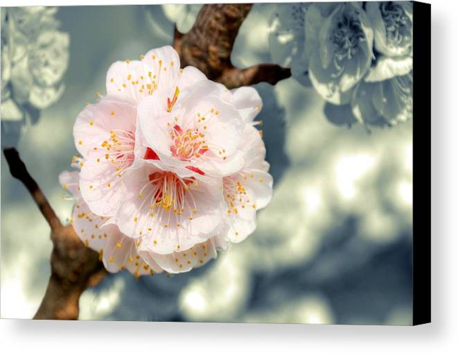 Horizontal Canvas Print featuring the photograph Orchard Of Apricot Trees by Alain Cachat