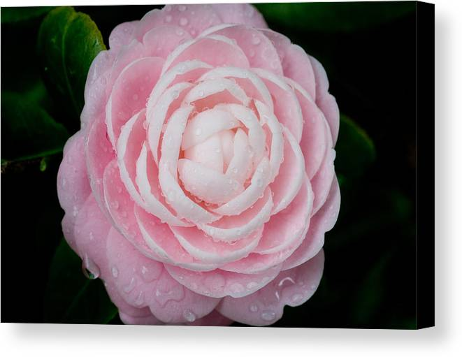 Camellia Canvas Print featuring the photograph Pefectly Pink by Rich Franco