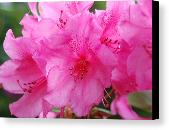 Pink Canvas Print featuring the photograph Pink Rhody by Michael Merry