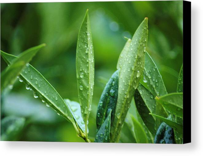Rain Canvas Print featuring the photograph Raindrops by Michael Merry