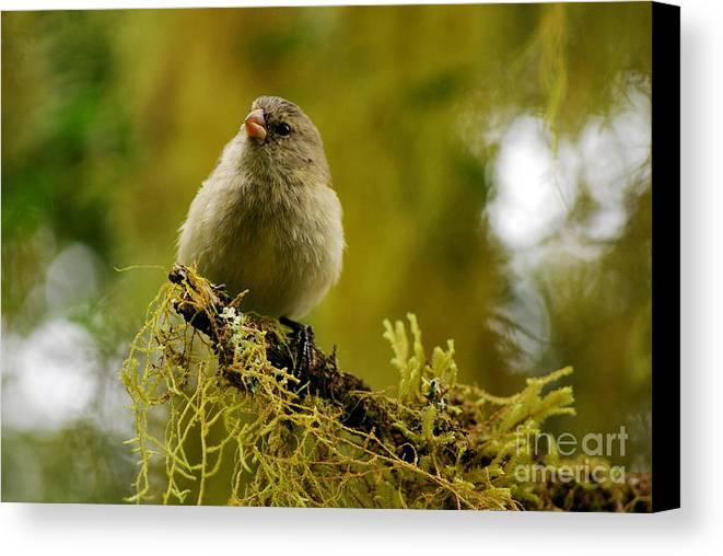Ecuador. Galapagos Canvas Print featuring the photograph Small Tree Finch by Fabian Romero Davila