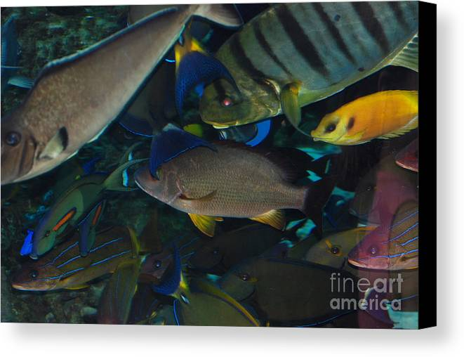 Aquarium Of The Pacific Canvas Print featuring the photograph Swimming Fish by Andrea Simon