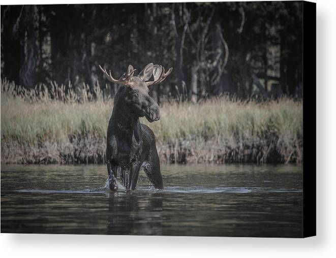 Moose Canvas Print featuring the photograph Chasing Tail by Megan Martens
