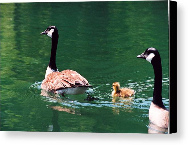 Goose Canvas Print featuring the photograph Geese Family by Paul Trunk
