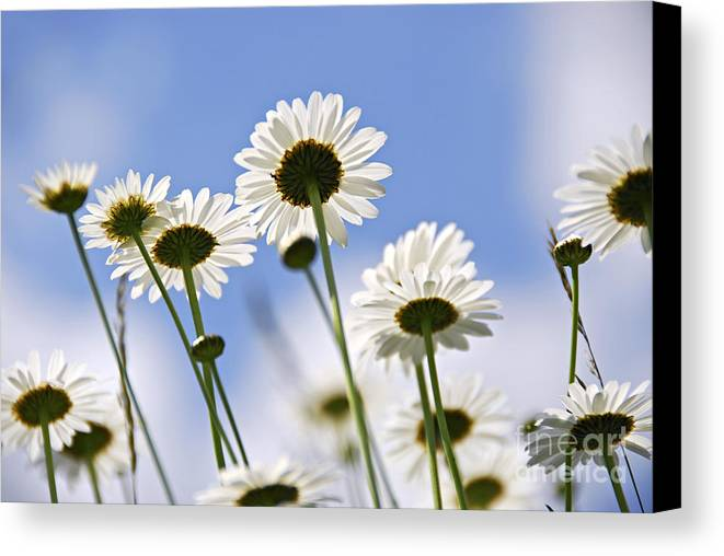 Daisy Canvas Print featuring the photograph White Daisies by Elena Elisseeva