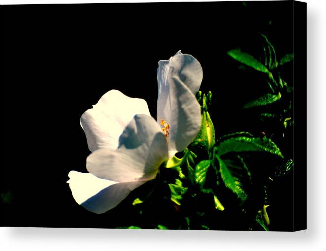 Canvas Print featuring the photograph White Flower by Robert Scauzillo