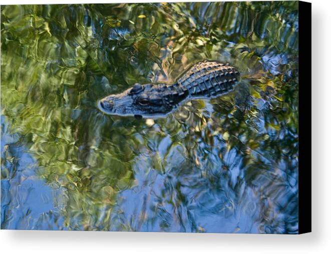 Alligator Canvas Print featuring the photograph Alligator Stalking by Douglas Barnett