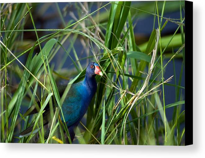 Birds Canvas Print featuring the photograph American Purple Gallinule by Anthony Knapp