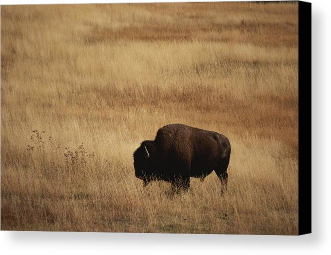 Bison Bison Canvas Print featuring the photograph An American Bision In Golden Grassland by Michael Melford