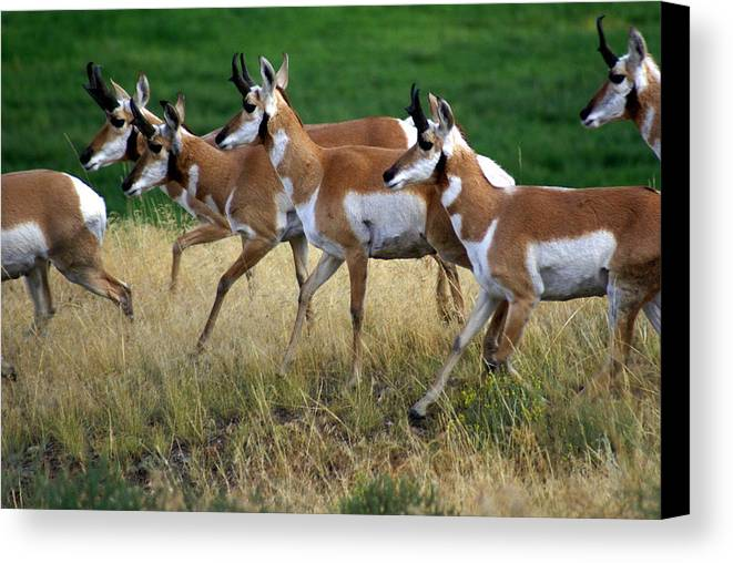 Wildlife Canvas Print featuring the photograph Antelope 1 by Marty Koch