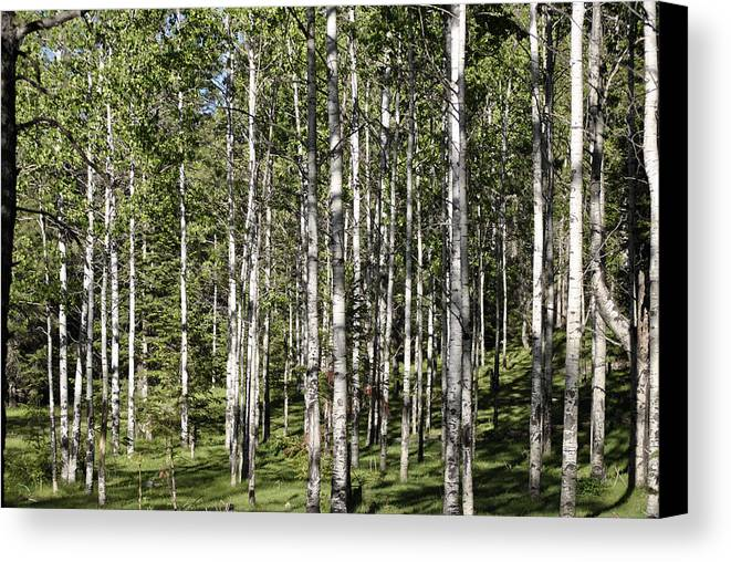Aspens Grass Forest Canvas Print featuring the photograph Aspen Forest by Jon Rossiter
