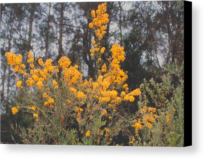 Flower Canvas Print featuring the photograph Aussie Gold by Ron Swonger
