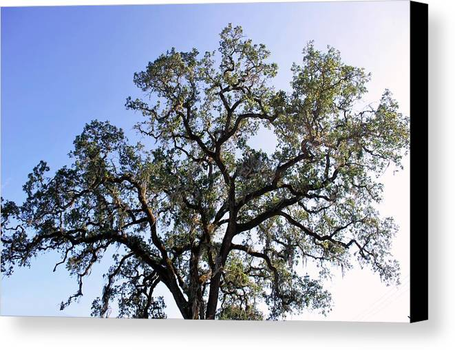Tree Canvas Print featuring the photograph Beautiful Tree Blue Sky Sunshine by Matt Harang