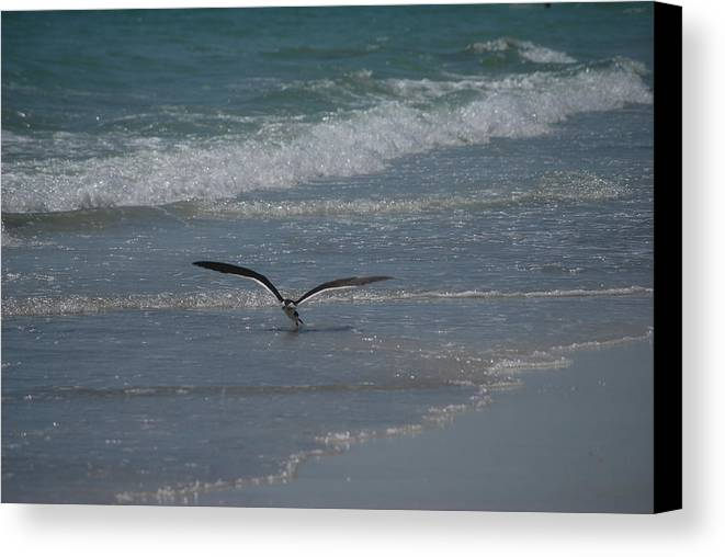 Birds Canvas Print featuring the photograph Bird Flying In The Surf by Lisa Gabrius