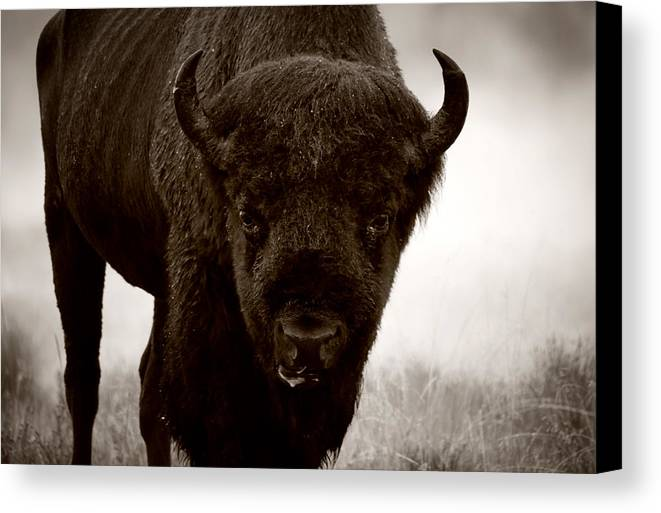 Bison Canvas Print featuring the photograph Bison Showdown by Sonia Schwantes