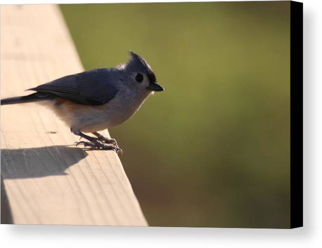 Bird Canvas Print featuring the photograph Blue Bird by Lisa Johnston