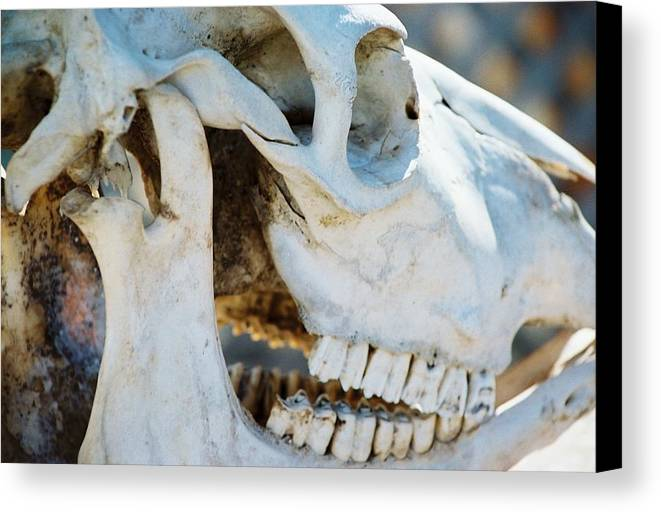 Skull Canvas Print featuring the photograph Bovinic Purpose by Jennifer Trone