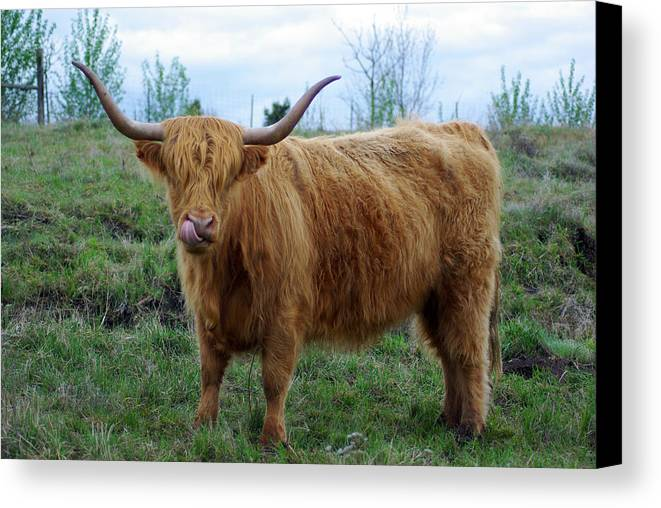 Longhorn Hairy Cow Canvas Print featuring the photograph Bullish by Jenny May