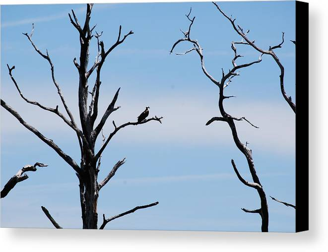 Wildlife Canvas Print featuring the photograph Burnt-tree Osprey by Peter McIntosh