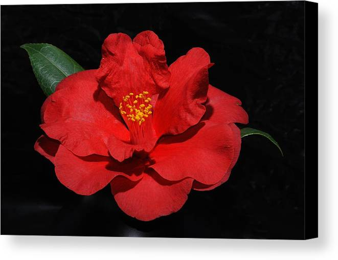 Flower Canvas Print featuring the photograph Camillea by Ed Zirkle