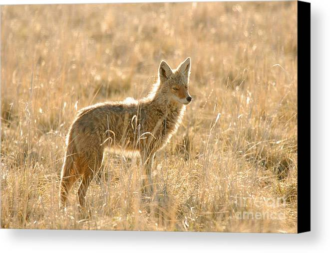 Coyote Canvas Print featuring the photograph Coyote At Dawn by Dennis Hammer