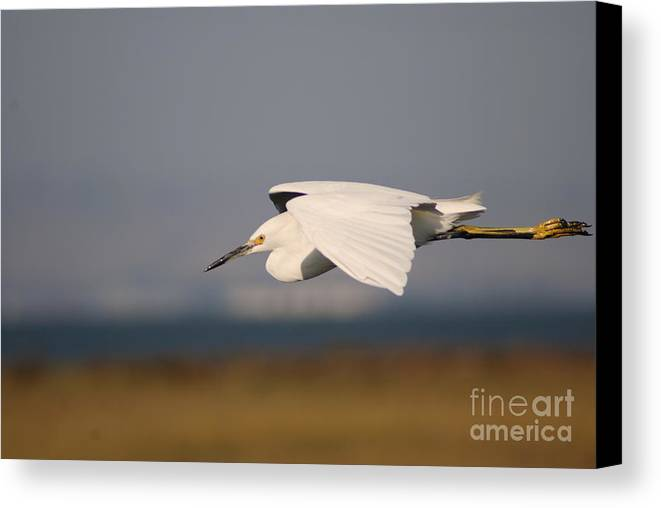 Animal Canvas Print featuring the photograph Crane by Catherine Lau