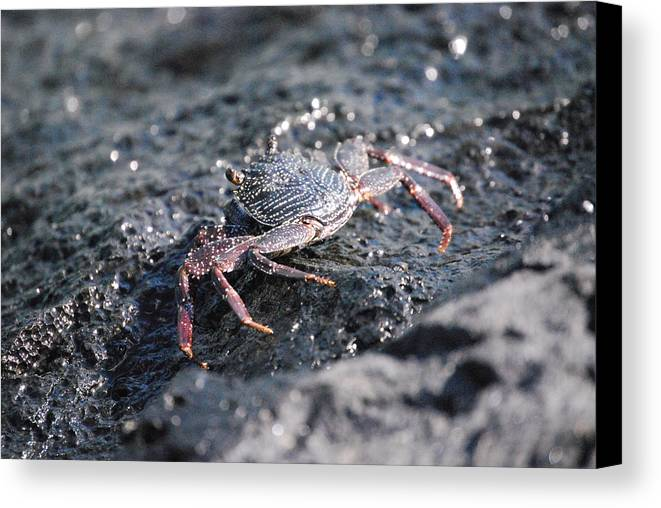 Crab Canvas Print featuring the photograph Crustation by Lakida Mcnair