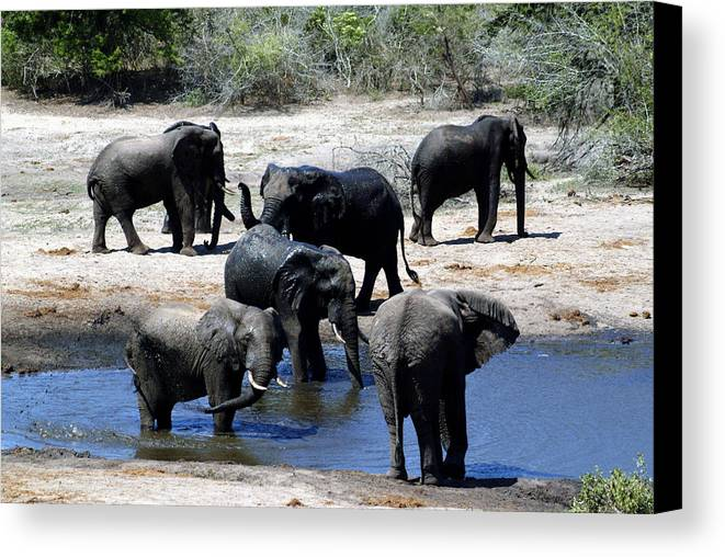 Elephants Canvas Print featuring the photograph Elephant Pool by Charles Ridgway