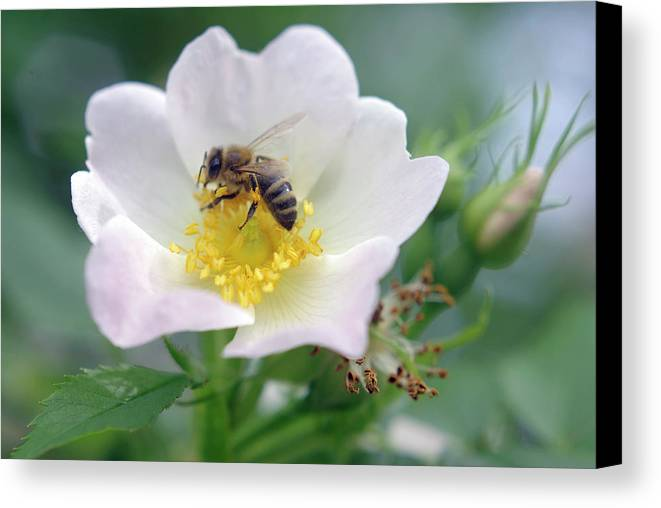 Nature Canvas Print featuring the photograph Everybody's Darling by AugenWerk Susann Serfezi