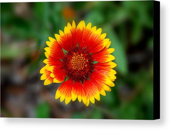 Indian Blanket Flower Canvas Print featuring the photograph Firewheel by Francie Davis