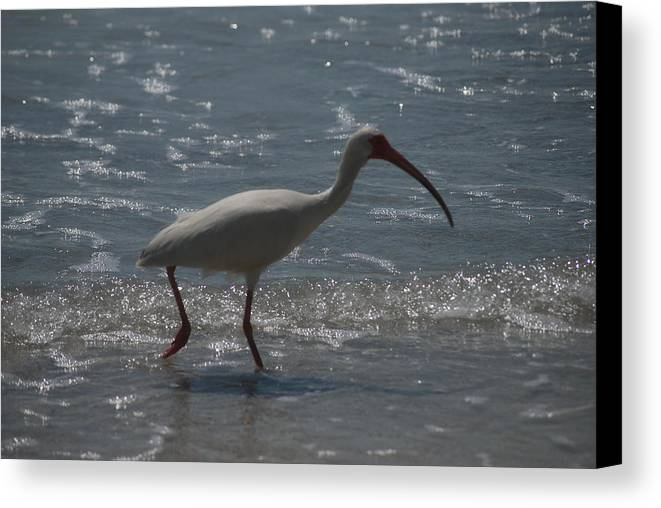 Florida Canvas Print featuring the photograph Florida Ibis 2 by Lisa Gabrius