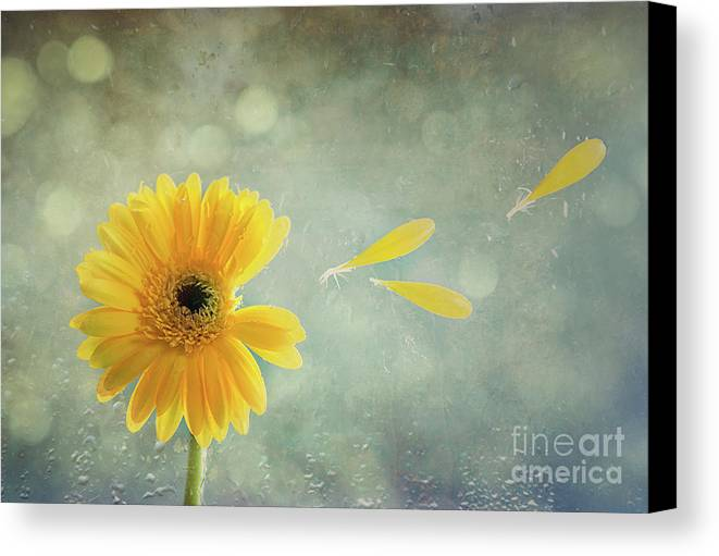 Gerbera Canvas Print featuring the photograph Gerbera With Raindrops by Amanda Elwell