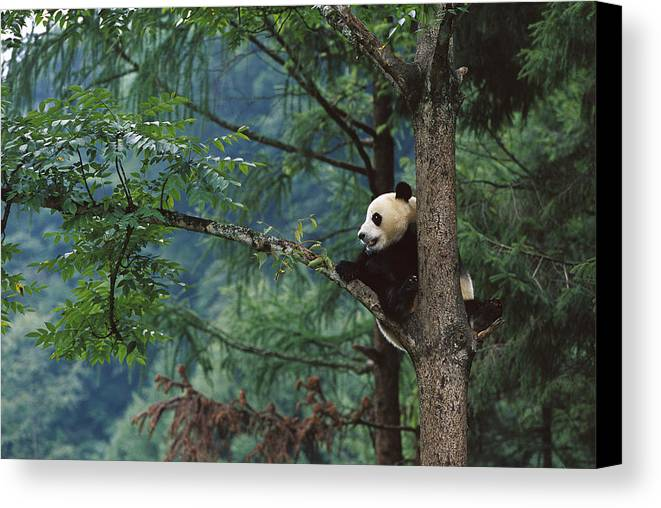Mp Canvas Print featuring the photograph Giant Panda Ailuropoda Melanoleuca by Cyril Ruoso