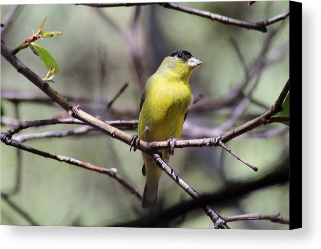 Bird Canvas Print featuring the photograph Goldfinch 042914a by Edward Dobosh