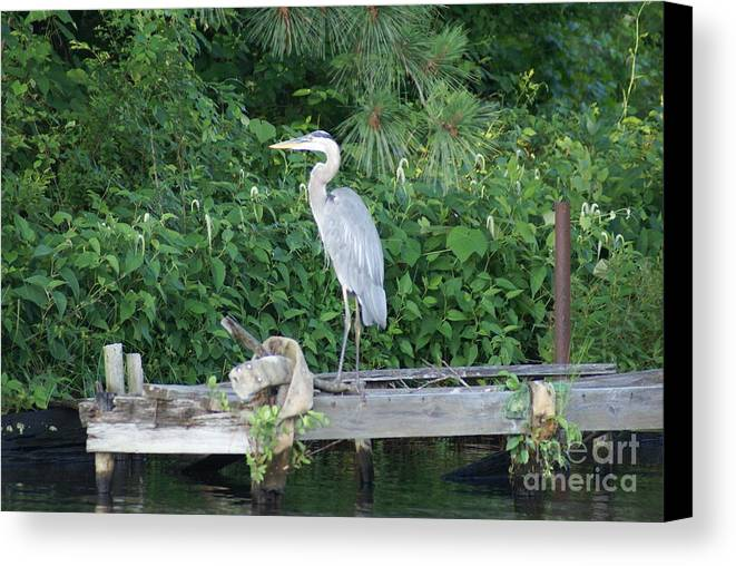 Great Blue Heron Canvas Print featuring the photograph Great Blue by Kathryn Launey