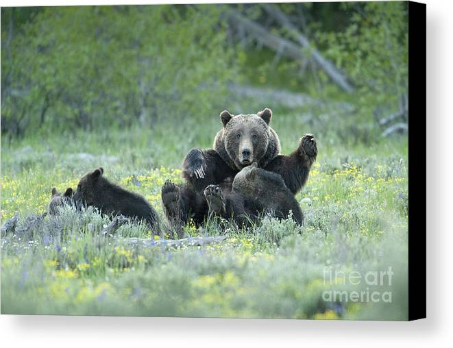 Bears Canvas Print featuring the photograph Grizzly Romp - Grand Teton by Sandra Bronstein