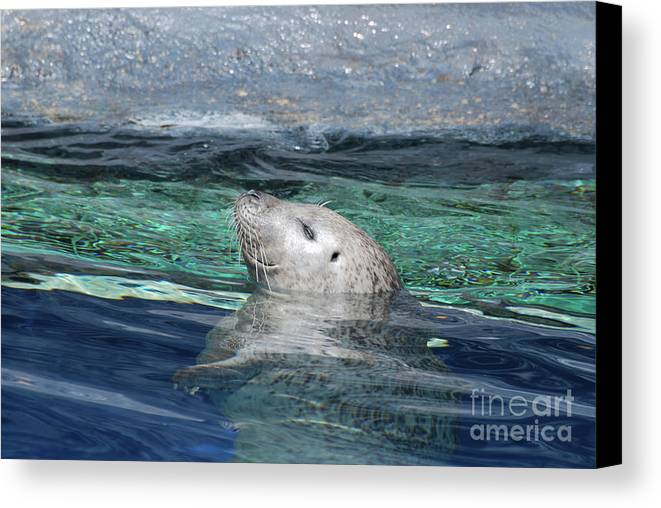 Seal Canvas Print featuring the photograph Harbor Seal Poking His Head Out Of The Water by DejaVu Designs