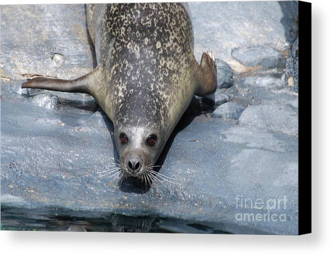 Seal Canvas Print featuring the photograph Harbor Seal Ready To Plunge Into The Water by DejaVu Designs