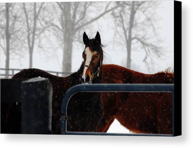 Snow Canvas Print featuring the photograph Horse In A Snowstorm by Steven Crown