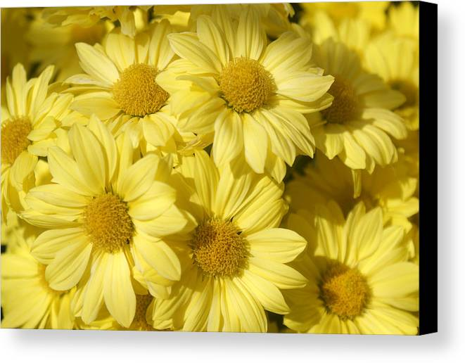 Flower Canvas Print featuring the photograph I Can't Believe It's Not Butter by Kat Dee