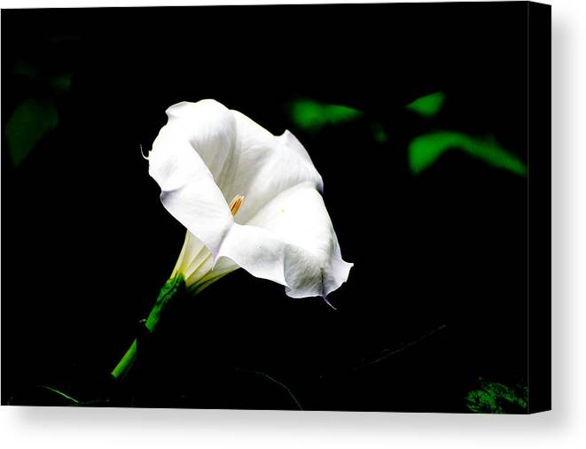 Floral Canvas Print featuring the photograph Judy's White Knight by M Ryan