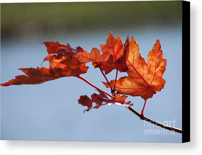 Leaves Canvas Print featuring the photograph Last Of The Leaves by Joy Bradley