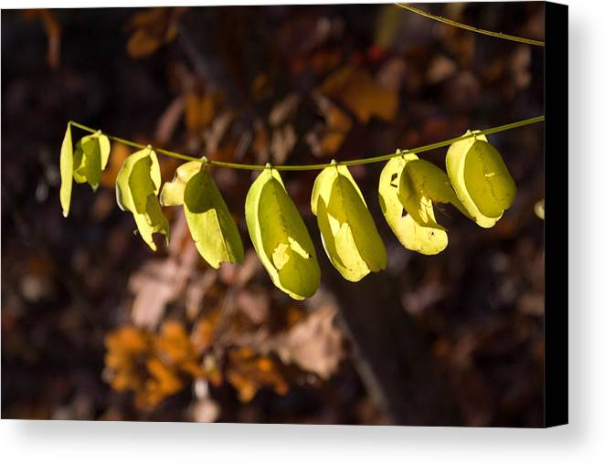 Leaves Canvas Print featuring the photograph Leaves All In A Row by Douglas Barnett