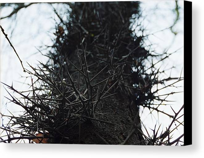 Needle Canvas Print featuring the photograph Locust Spines by Jennifer Trone